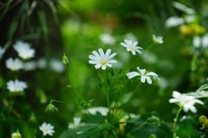 ハコベのお花