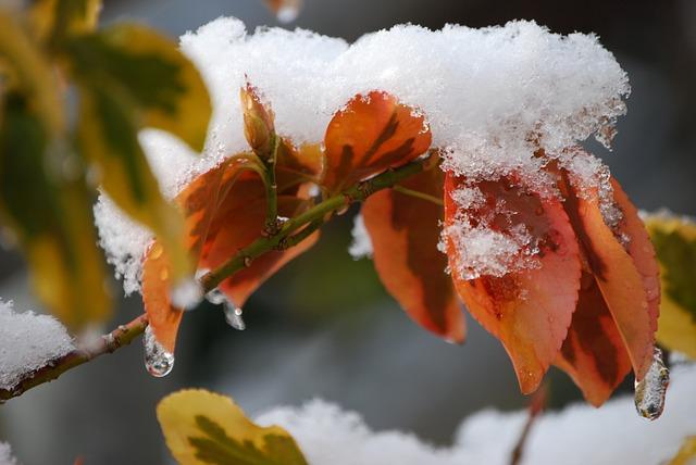 雪の積もった葉